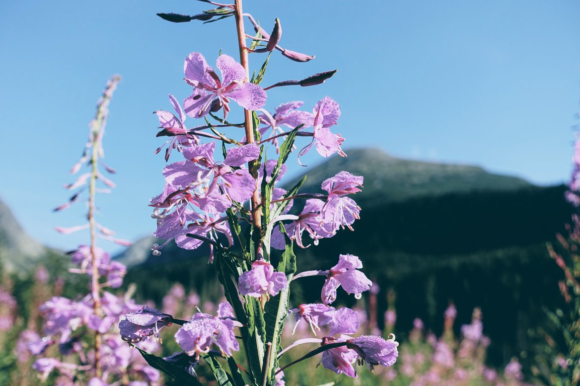 Flower in High Tatra mountains