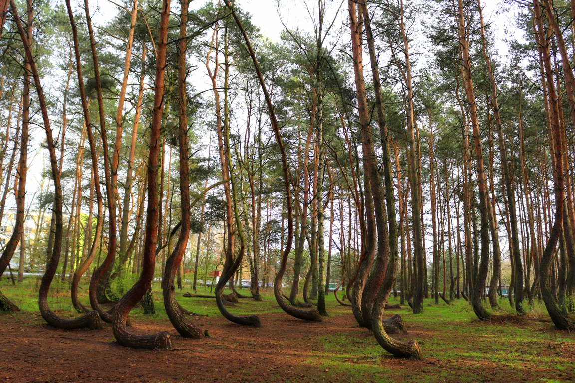crooked forest poland.jpg